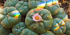 peyote cactus flowering