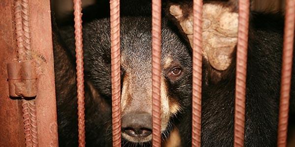 bear-bile-farm-2