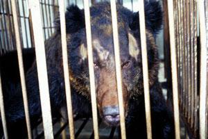 Chinese bear bile farm