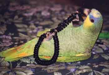 Coco, Amazon parrot