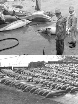 Dolphin Massacre in Japan