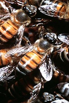 killer_bees