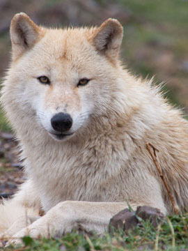 San Diego Gray Wolf