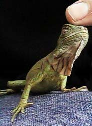 Green Iguanas - Aw, how cute is that?