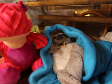 Meet the Sloths, baby sloth