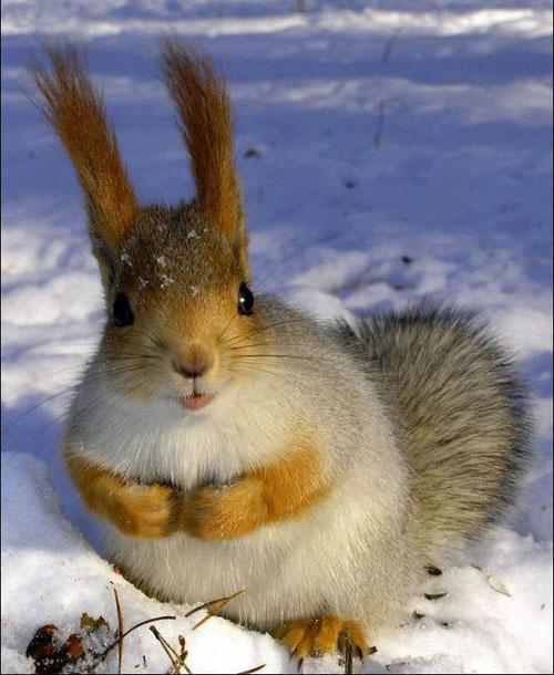 Cute European Red Squirrel