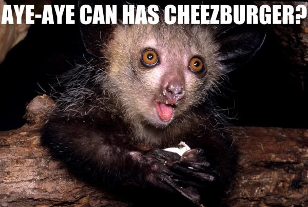 Aye-aye can has cheezburger
