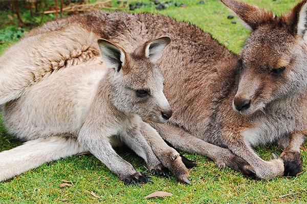 baby-kangaroo-3