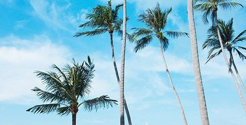 Palm tree Koh Samui, Thailand