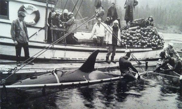 Killer Whale Capture