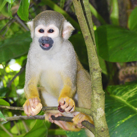 Monkey Jungle - Miami - Squirrel Monkey