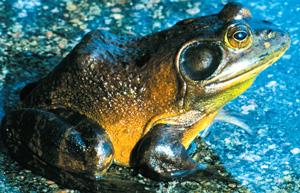 Bullfrog Toad