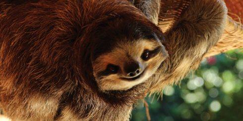 Buttercup the Sloth